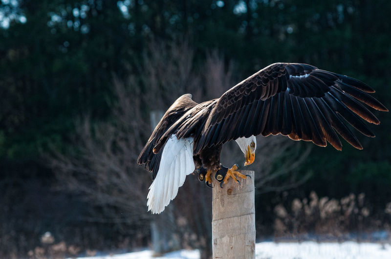 Close-up of eagle perching on tree stump