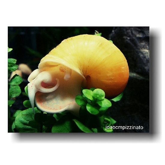 Ampulária (Golden Apple Snail). Ampul ária Freshwater Aquarium Colors animal beautiful nature city saopaulo brasil photography