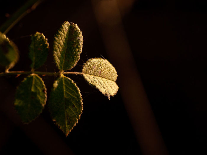 Close-up of leaves on plant at night