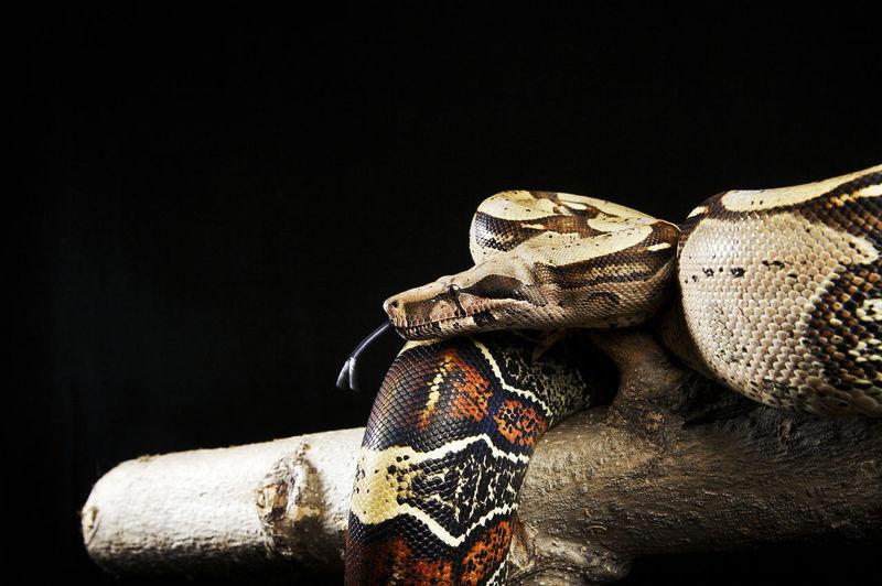 Pythons on wood against black background