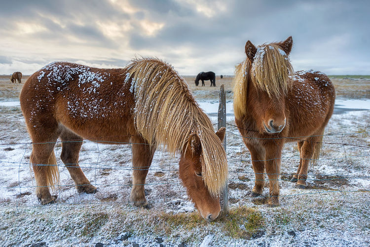 Animal Animal Themes Animal Wildlife Cloud - Sky Cold Temperature Domestic Domestic Animals Field Group Of Animals Herbivorous Horse House Icland Land Livestock Mammal No People Outdoors Pets Pony Sky Snow Standing Vertebrate Winter