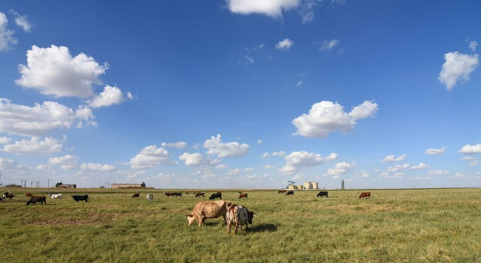 Herd Of Texas Longhorn Grazing On Grassy Oil Field Against Sky