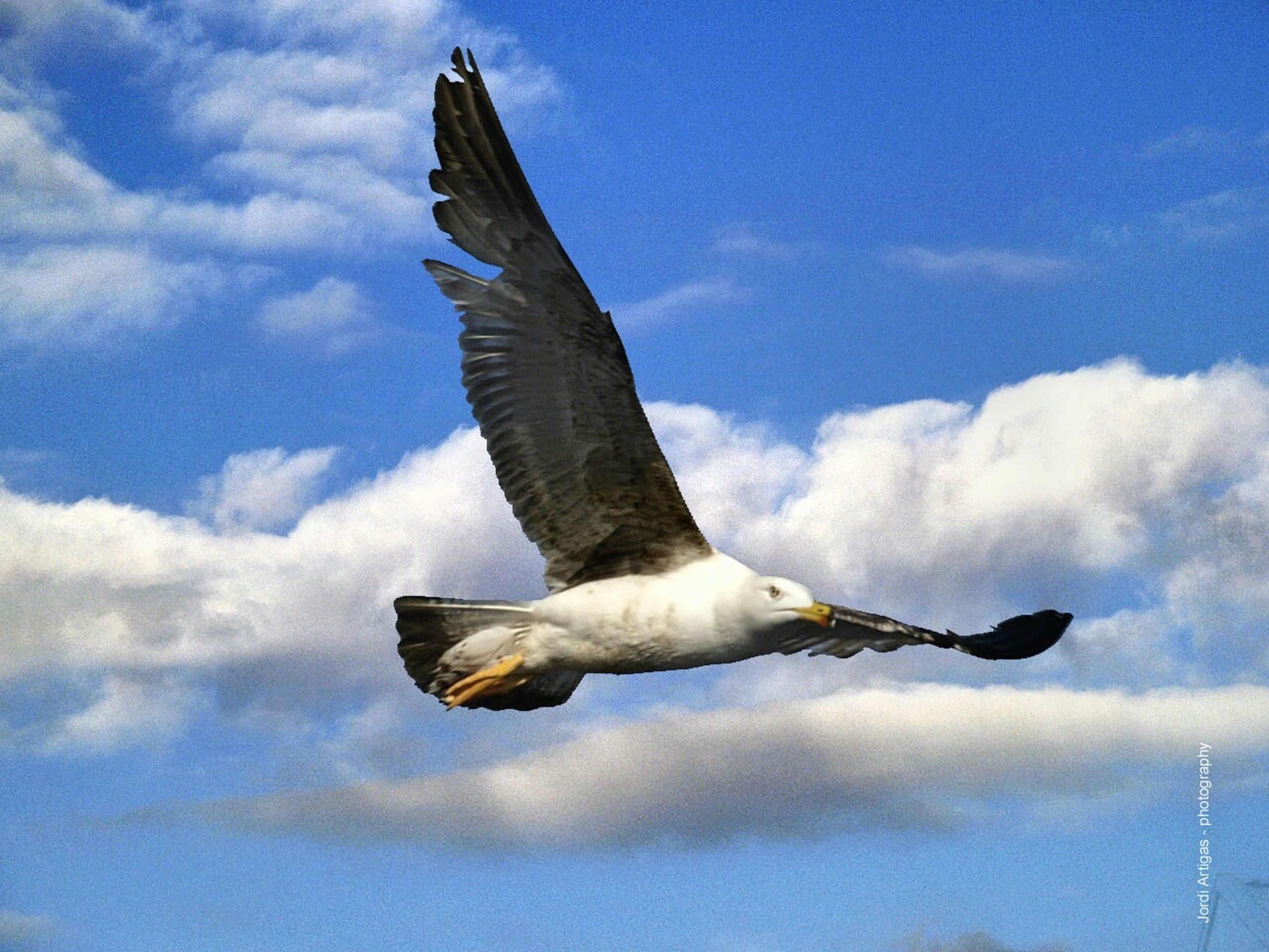 flying, bird, animal themes, spread wings, animals in the wild, one animal, wildlife, low angle view, sky, seagull, blue, flight, mid-air, cloud, cloud - sky, nature, outdoors, animal wing, zoology, beauty in nature, focus on foreground, tranquility, no people