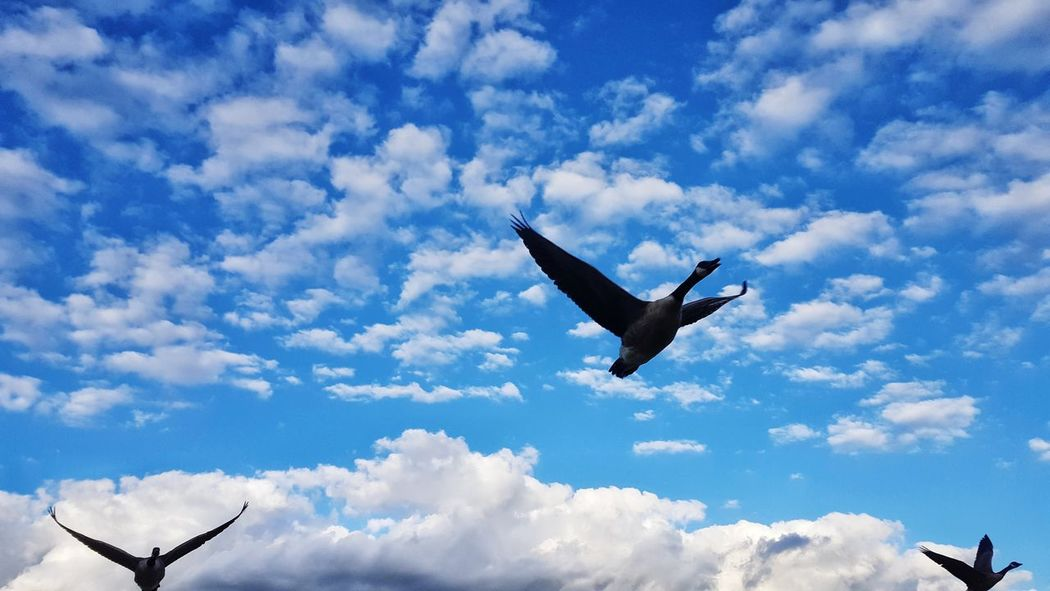 Flying Cloud - Sky Sky Mid-air Airshow Animal Themes Aerobatics Animal Wing Birds🐦⛅ Birds Of EyeEm  Birds In Flight Nature Photography Bird Of Prey The Week On EyeEm Nature_perfection Birdwatching Flying In The Sky Beauty In Nature Birds Eye View Animal Wildlife Spread Wings Animals In The Wild Birds Of EyeEm  Blue Nature