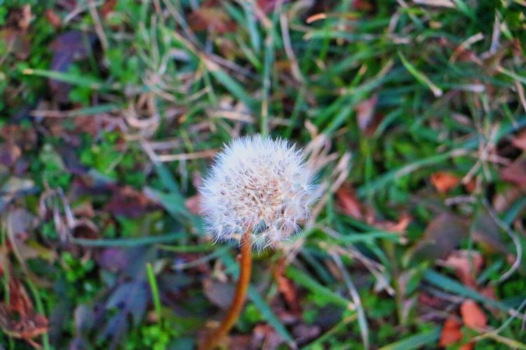 Plant Growth Nature Flower Fragility Beauty In Nature Outdoors Flower Head No People Grass Dandelion Seed Wildflower Day Close-up Freshness