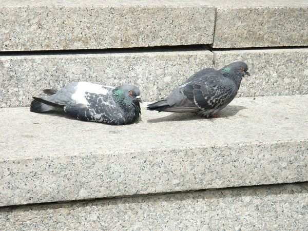 Zagreb, Croatia. Bird Animal Themes Shadow Sunlight Domestic Animals Day No People Outdoors Animals In The Wild Pigeon Pigeons Chilling EyeEmNewHere Flying High Welcom Weekly Welcomeweekly 100 Days Of Summer EyeEm Selects Pet Portraits Stories From The City Adventures In The City