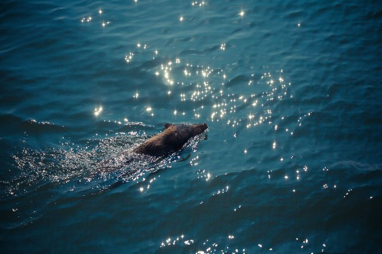 High Angle View Of Wild Boar In Sea