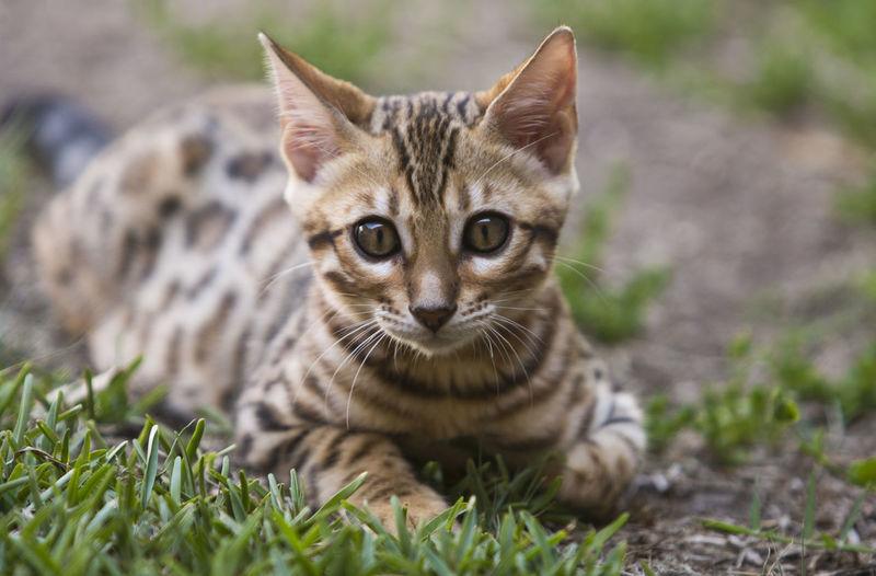 Kitten bengal Animal Themes Pets One Animal Animal Domestic Cat Feline No People Kitten Domestic Cat