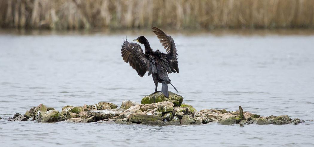 Cormorant at RSPB Radipole Cormorant  In Wild Island Lake Landscape No People One Animal RSPB Weymouth Wildlife & Nature Wings