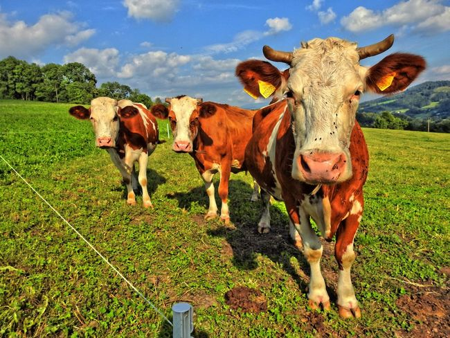 Animal Animal Head  Animal Themes Cloud Cow Domestic Animals Domestic Cattle Farm Animal Field Front View Full Length Green Color Herbivorous Livestock Looking At Camera Mammal Nature Outdoors Pasture Sky Standing Zoology
