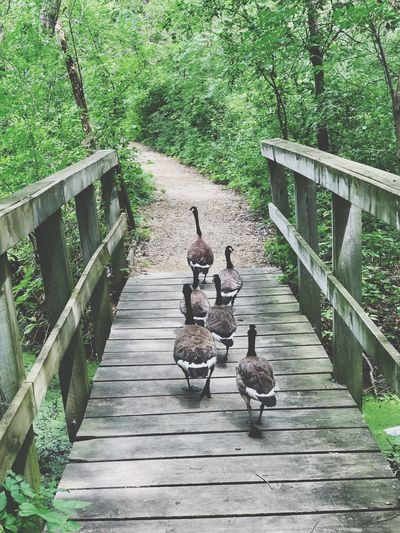 Nature Railing Day Outdoors Steps Animal Themes No People Plant Bird Animals In The Wild Beauty In Nature Tree Geese Minnesotaphotographer