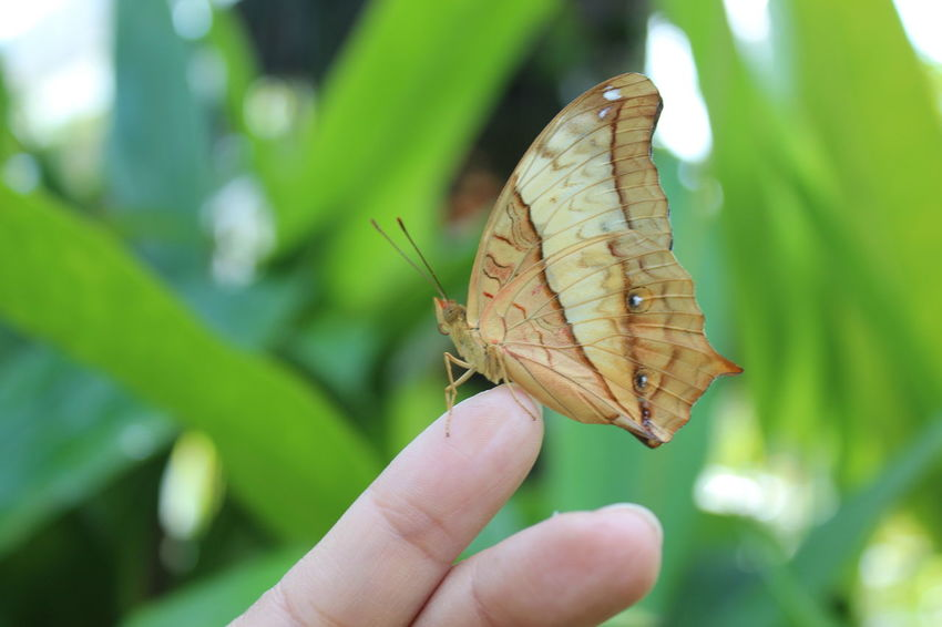 Animal Themes Animal Wildlife Animals In The Wild Beauty In Nature Bugs Butterfly Butterfly - Insect Close-up Day Focus On Foreground Freshness Fringers Holding Human Body Part Human Hand Insect Leaf Nature One Animal One Person Outdoors People Real People Spread Wings