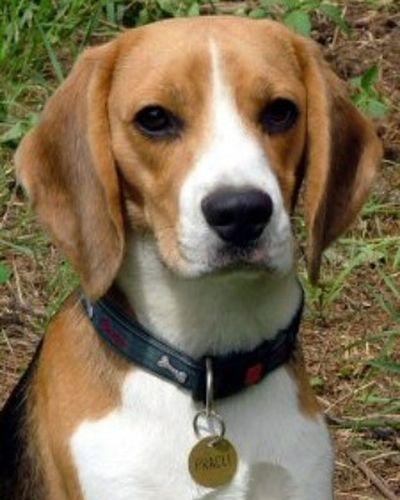 Beagle Pracli Kutya Dog Puppy Beagles  állat Animal