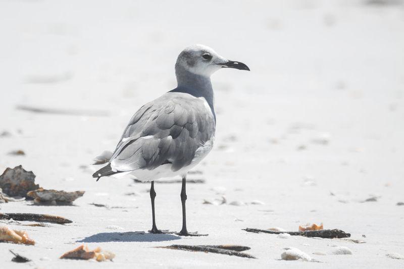 Animal Themes Animal Wildlife Animals In The Wild Beach Bird Bird Photography Beauty In Nature Close-up Day Florida Nature No People Outdoors Shorebird