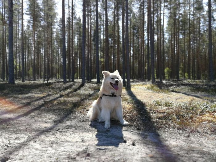 Finnishlapphund Finnish Nature Huaweip10plus Huaweiphotography Tree Pets Dog Sitting Full Length Sunlight Sticking Out Tongue Portrait