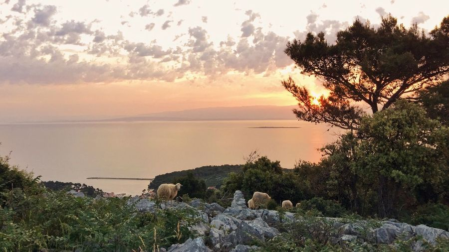 Sheep on St Ivan, hill above Veli Losinj, Croatia, 2015. Losinj Veli Lošinj Mali Lošinj Croatia Sheep Dawn Sea Seascape Water Adriatic Sea Adriatic Morning Tree Animal Environment Calming Serenity Tranquility Beauty In Nature Peaceful Zen Island Hill Rock The Great Outdoors - 2016 EyeEm Awards