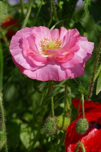 Flower Petal Flower Head Beauty In Nature Plant Nature No People Fragility Close-up Sand-le-Mere Plant Beauty In Nature Nature Pink Pink Flower Poppy Pink Poppy