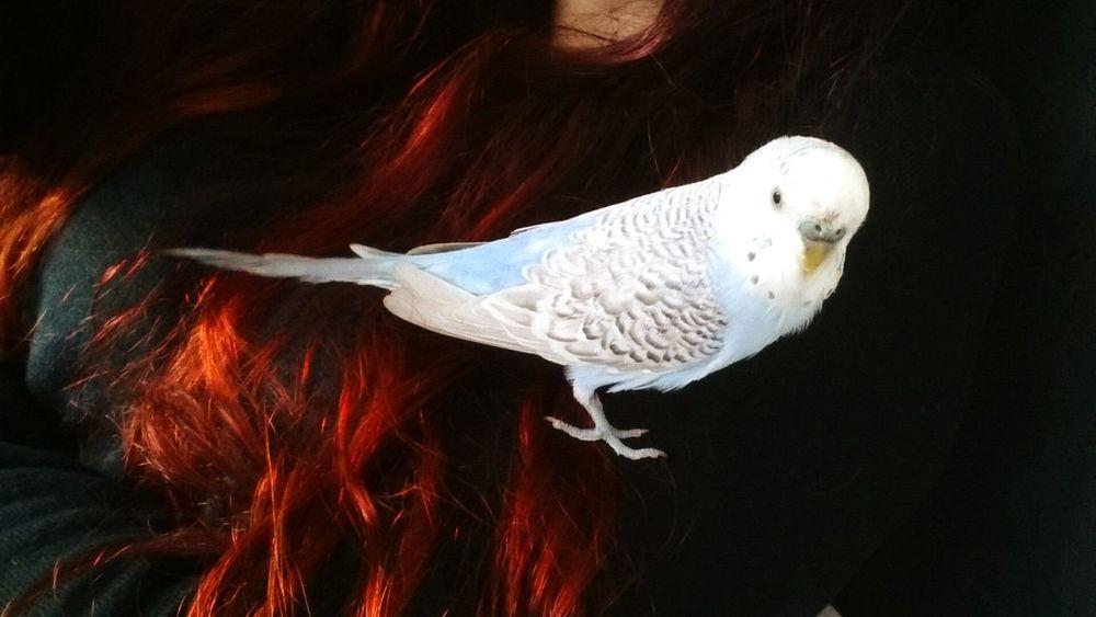 Muhabbet Bird Love Budgie Hair Hedwig