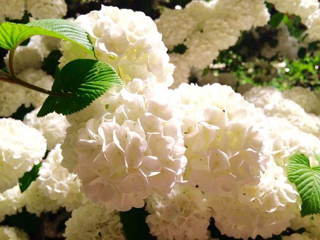 Japanese Snowball Snowball Japan EyeEm Flower Flowers Flower White Ashikaga Flower Park Travel Destination 9 Places Of The World Of Dream あしかがフラワーパーク✨オオデマリも見事に満開\(^^)/