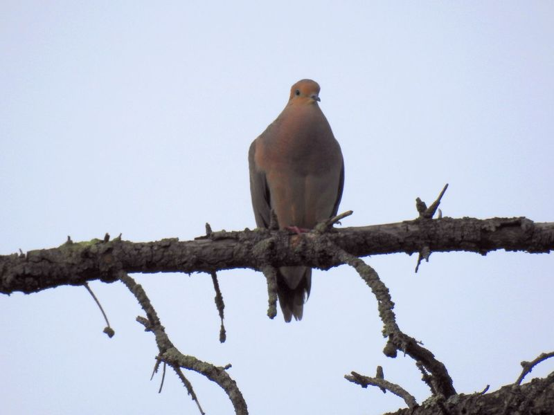 Animal Animal Themes Avian Beauty In Nature Bird Bird On A Branch Bird On Branch Against Blue Sky Bird Photography Bird Watching Birds_collection Clear Sky Day Dove Dove Love Doves, Birds Low Angle View Morning Dove Mourning Dove Nature Outdoors Perched Bird Perching Sky Wild Bird Wildlife