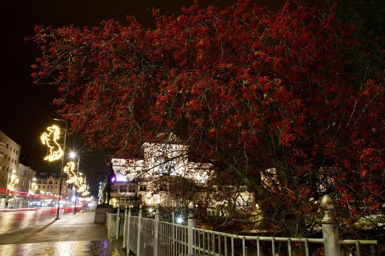mountain ash Berry City City Life Cristmas Light Lights Mountain Ash Mountain Ash Tree Night Night Lights Nightphotography No Leafs Rowan