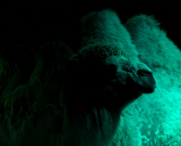 verfressenes Schwein - porcus avarum Black Background Dark Illuminated Nature No People Spooky Trampeltier Camel Camels Bactrian Camel Camel Mountain Zirkus Circus Green Color Green Light Kamel