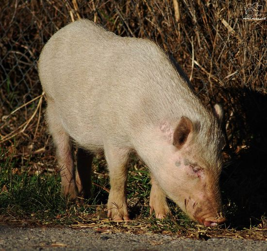 Minipig Minipigs Pig Cerdo Cerdos Pig Albine Albinism Porc Albi Albino Animal Wildlife Animal Photography Photooftheday Outdoor Photography Naturelovers Natgeo Safari Forest Adventure Hiking Mammal Animals In The Wild Nature_collection Landscape_collection EyeEmNatureLover Nikon D60 Martorell Catalunya Animal Photography Nikonphotograhy Nikonphotography Naturephotography Naturaleza🌾🌿 Naturaleza🌵🌻🎶 Nikonphotographers