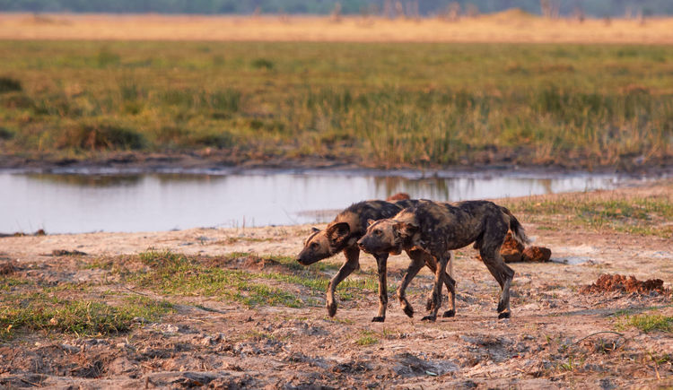 This pack of wild dogs are hunting a leopard away. Botswana Wild Dog Wild Dogs Afrcia Animals In The Wild Day Hunting Mammal Moremi National Park Nature No People Outdoors Pack Pack Of Dogs