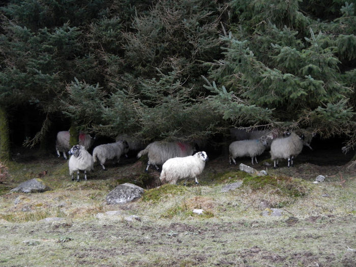 Trees Animal Themes Day Forest Livestock Seeking Shelter Sheep Standing Togetherness Under Cover