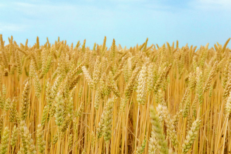 2 Field Nature Ukraine Ukraine 💙💛 Agriculture Beauty In Nature Cereal Plant Close-up Crop  Crop  Farm Field Growth Land Landscape Natur Nature Plant Rural Scene Sky Tranquility Wheat Украина♥ Україна украина
