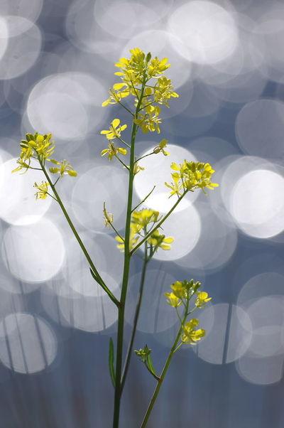 菜の花 Rapeblossom Yellow Flowers 玉ボケ 玉ボケ部 玉ぼけクラブ Nature Photography Nature Lover No People Beauty In Nature Nature