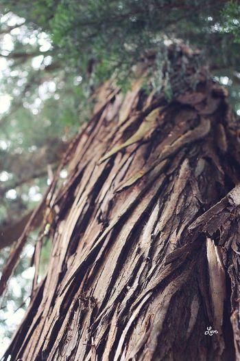 二本杉 戸隠 火之御子社にて Trees Tree_collection  Nature EyeEm Nature Lover Beautiful Nature Togakushi Japan 戸隠