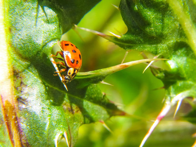 ladybug Orange Red Ladybird Macro Animals In The Wild Animal Themes Nature Outdoor Nature Photography Macro Photography Nature_collection Good Insect Predator Hunting Ladybug Leaf Insect Full Length Close-up Plant Green Color Beetle Tiny Animal Leg Spider Web Animal Limb Bug Animal Antenna