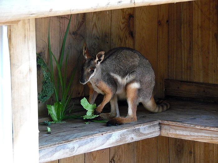 Animal Animal Themes Animal Wildlife Baby Joey Kangaroos No People One Animal Outdoors Wood - Material