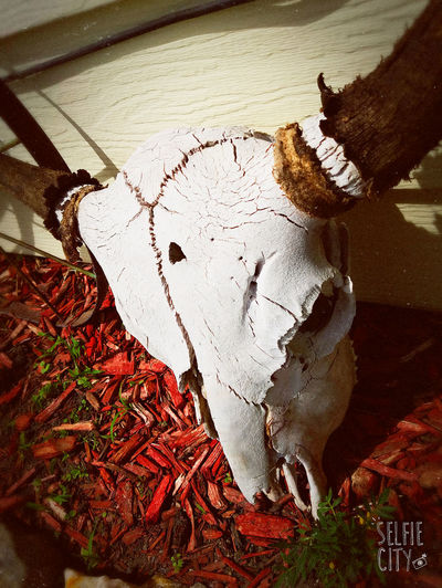 Come to my house and meet one of our many skulls scattered about 💀🐂