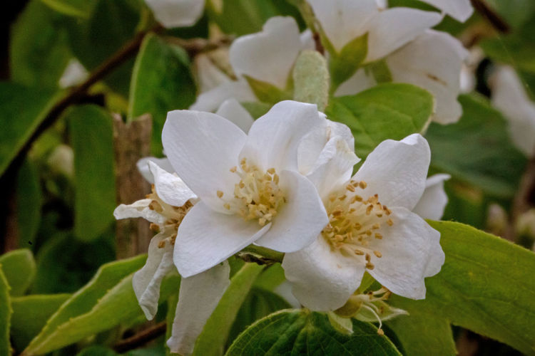 Apple Blossom Beauty In Nature Close-up Day Flower Flower Head Flowering Plant Focus On Foreground Fragility Freshness Growth Inflorescence Leaf Nature No People Outdoors Petal Plant Plant Part Pollen Spring Vulnerability  White Color