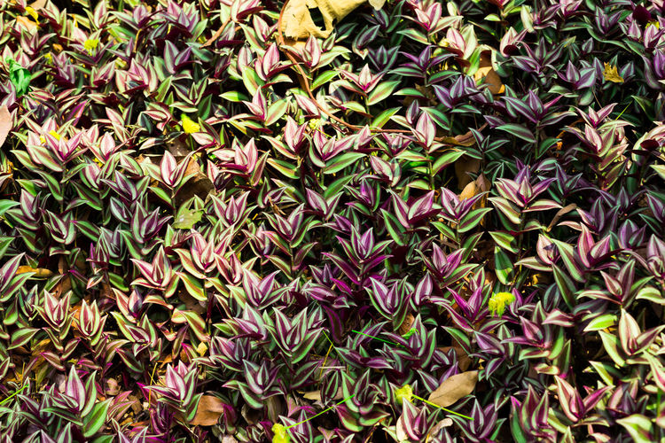 Tradescantia zebrina (Schinz) D. R. Hunt Commelinaceae Tradescantia Zebrina Loudon Backgrounds Beauty In Nature Close-up Day Flower Flower Head Fragility Freshness Full Frame Growth Leaf Multi Colored Nature No People Outdoors Plant