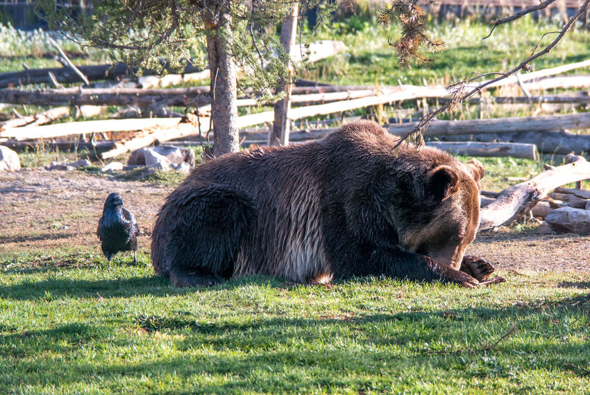 a large grizzly bear guards food, while a Raven bird waits hopefully for any scraps leftover Montana Portrait Dangerous Animals Grizzley Bear Large Bears Majestic Creature America Nature Animal Wildlife One Animal Brown Mammal Hairy  Happy Birding Raven Bird Black