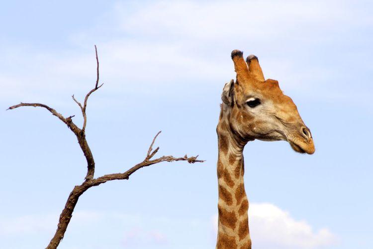 African Safari African Safari Wildlife National Park Wanderlust Adventure Mammal Tree Safari Animals Giraffe Sky Safari Animal Eye Savannah Southern Africa Yellow Eyes Wildlife Reserve Branch Animal Neck EyeEmNewHere My Best Photo