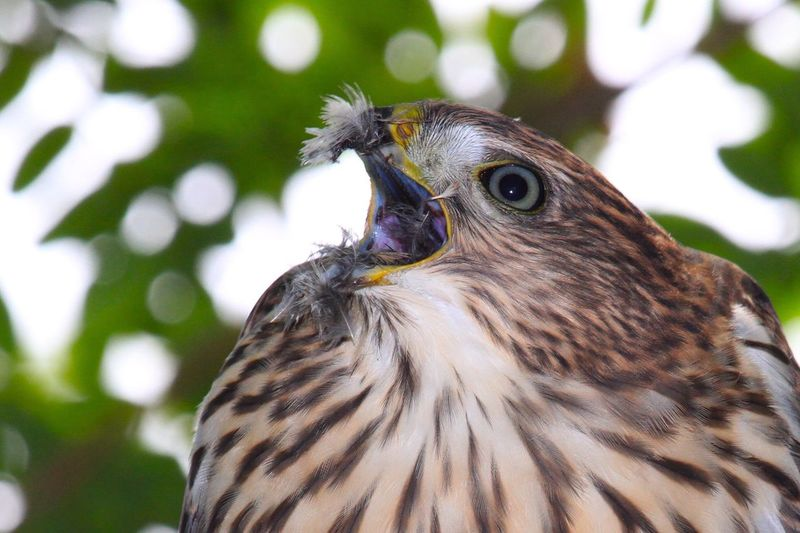 Close-up of cooper hawk with mouth open