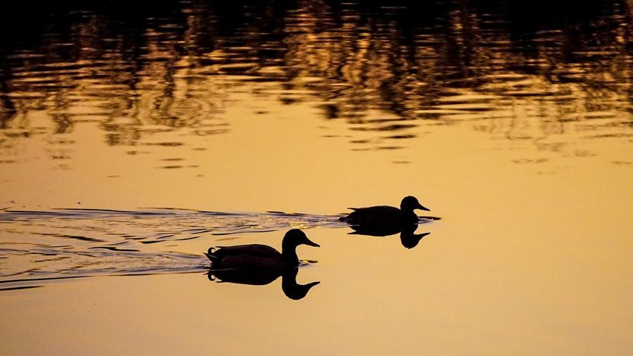 Ducks in a row. Ducks Sunset Sunset Silhouettes Silhouette A6000 Sony A6000 Water Reflections Reflection
