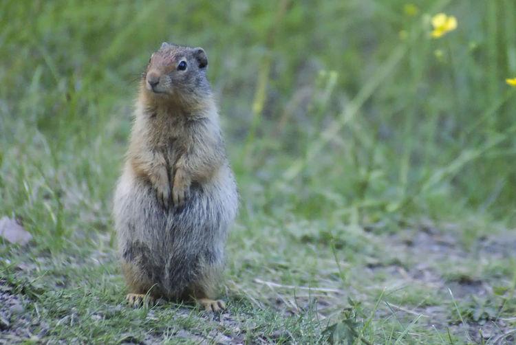 Canadian groundhog Groundhog Nature Wildlife Canada Alberta Wildlife Photography Grass Close-up