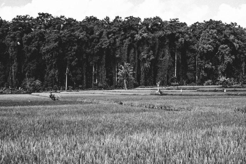 Bali Topographics--the protected sacred Sangeh Monkey Forest versus man-made rice paddies. Bali Copy Space INDONESIA Rice Paddy Beauty In Nature Environment Field Forest Grass Growth Idyllic Landscape Nature New Topographics No People Non-urban Scene Outdoors Sawah Scenics - Nature Sky Southeast Asia Tranquil Scene Tranquility Tree