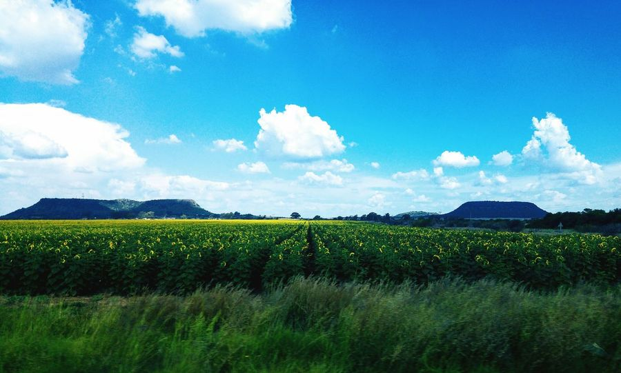 Sunflower field. Agriculture Field Nature Landscape Green Color Beauty In Nature Growth Farm Scenics Blue Rural Scene Plant Outdoors No People Free State South Africa Cloud - Sky Crop  Flower Tree Mountain Sky Cellphone Photography