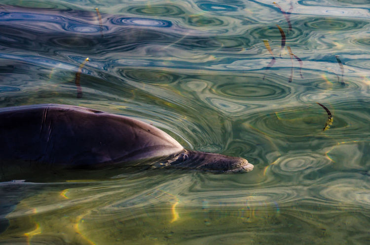 Animal Themes Animal Wildlife Animals In The Wild Beach Close-up Day Dolphin Mammal Monkey Mia Nature No People On The Beach One Animal Outdoors Swimming The Great Outdoors - 2017 EyeEm Awards Water Wild Dolphins