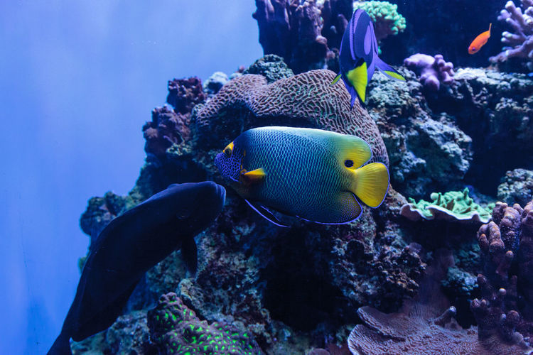 Close-up of blueface angelfish  swimming