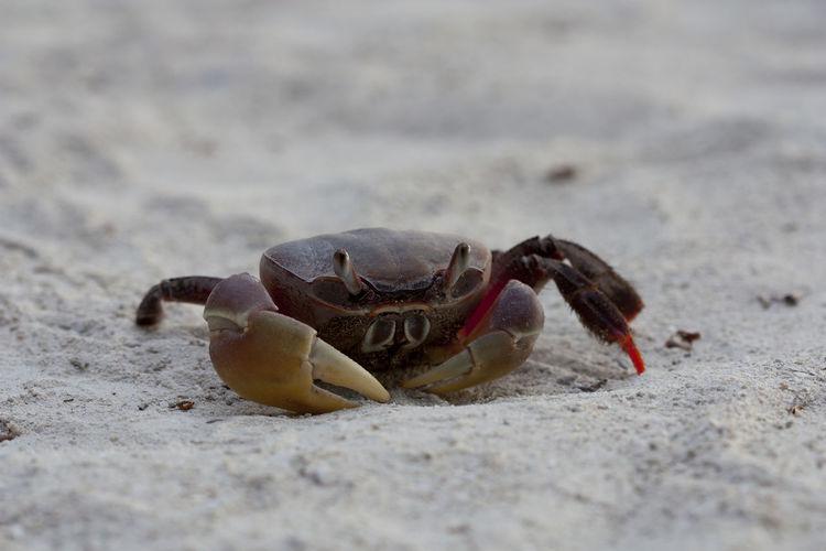 Cancer Meer Strand Animal Themes Animal Wildlife Animals In The Wild Beach Close-up Crab Crustacean Day Hermit Crab Krabbe Krebs Nature No People One Animal Outdoors Sand Sandstrand Schere Scherenhände Sea Life