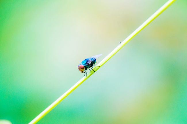 Insect Animals In The Wild Macro Green Color Animal Wildlife Animal Themes No People Leaf Nature Damselfly Close-up Day One Animal แมลง แมลงวัน Backgrounds แมลงวันสเปน Wallpapers Art Green Color Nature Outdoors Beauty In Nature Perching