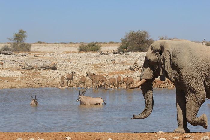 Lillstyle Namibia Africa African Elephant Animal Themes Animal Trunk Animal Wildlife Animals In The Wild Clear Sky Day Elephant Elephant Calf Large Group Of Animals Mammal Nature No People Outdoors Safari Animals Sky Standing Togetherness Tusk Water