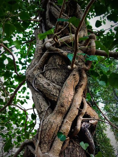 Efeu, Totale Umarmung, Baum, Efeu Tree Tree Trunk Branch Growth Nature Low Angle View No People Leaf Plant Beauty In Nature Root